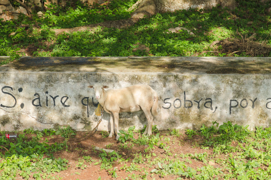 Animal Themes Beauty In Nature Day Domestic Animals Goat Graffiti Historical Sights Inspiration Leashed Livestock Mammal Nature No People Outdoors Pets Poetry Spanish Language Tranquility Travel Tree Village