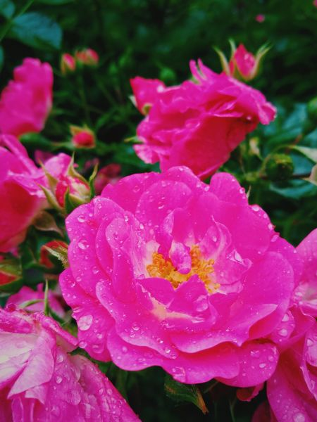 Pink Color Flower Nature Petal Beauty In Nature Plant No People Outdoors Wild Rose Fragility Growth Flower Head Day Peony  Close-up Freshness Glamour Water Backgrounds Sommergefühle Sommergefühle The Week On EyeEm Perspectives On Nature