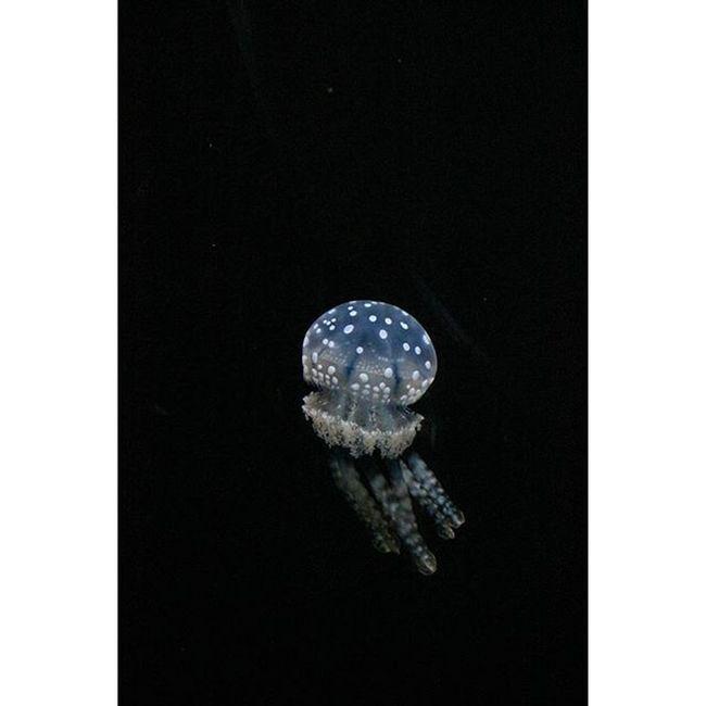 Cute little squishy Jellyfish Blueplanetaquarium Cute MySquishy Aquarium Sealife
