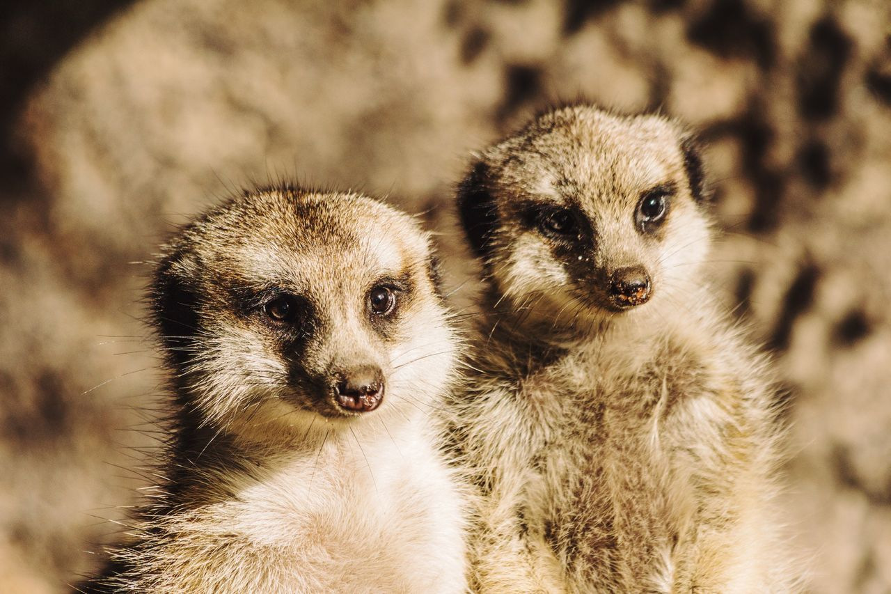 Two Animals Animal Themes Young Animal Mammal Animals In The Wild No People Close-up Portrait Outdoors Nature Day Meerkat Meerkats