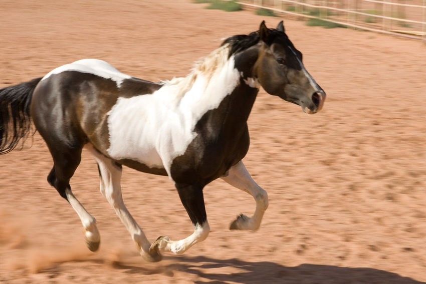 Galloping horse Pinto Horse Horse No People Motion Blur Motion Shot MotionCapture Actionshot Galloping Horse Equine Mammal Domestic Animals Animal Themes Livestock Hoofed Mammal Outdoors Western Style