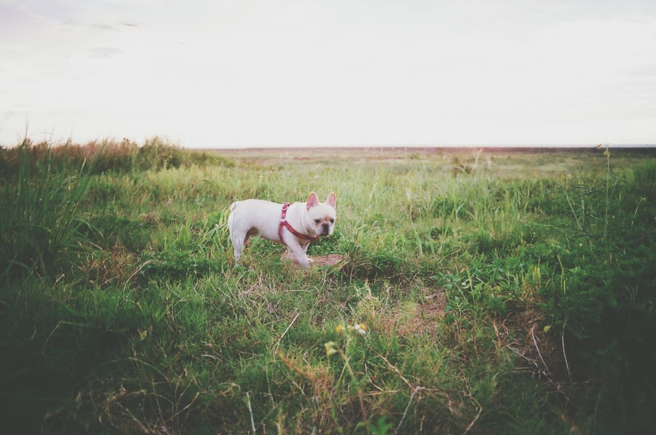 Beautiful stock photos of bulldog, Animal Themes, Beauty In Nature, Day, Dog