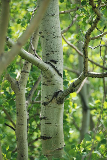 Aspens Backgrounds Beauty In Nature Beauty In Nature Branch Close-up Day Focus On Foreground Forest Freshness Growth Low Angle View Nature Nature No People Outdoors Serene Softness Tree Tree Trunk White Bark
