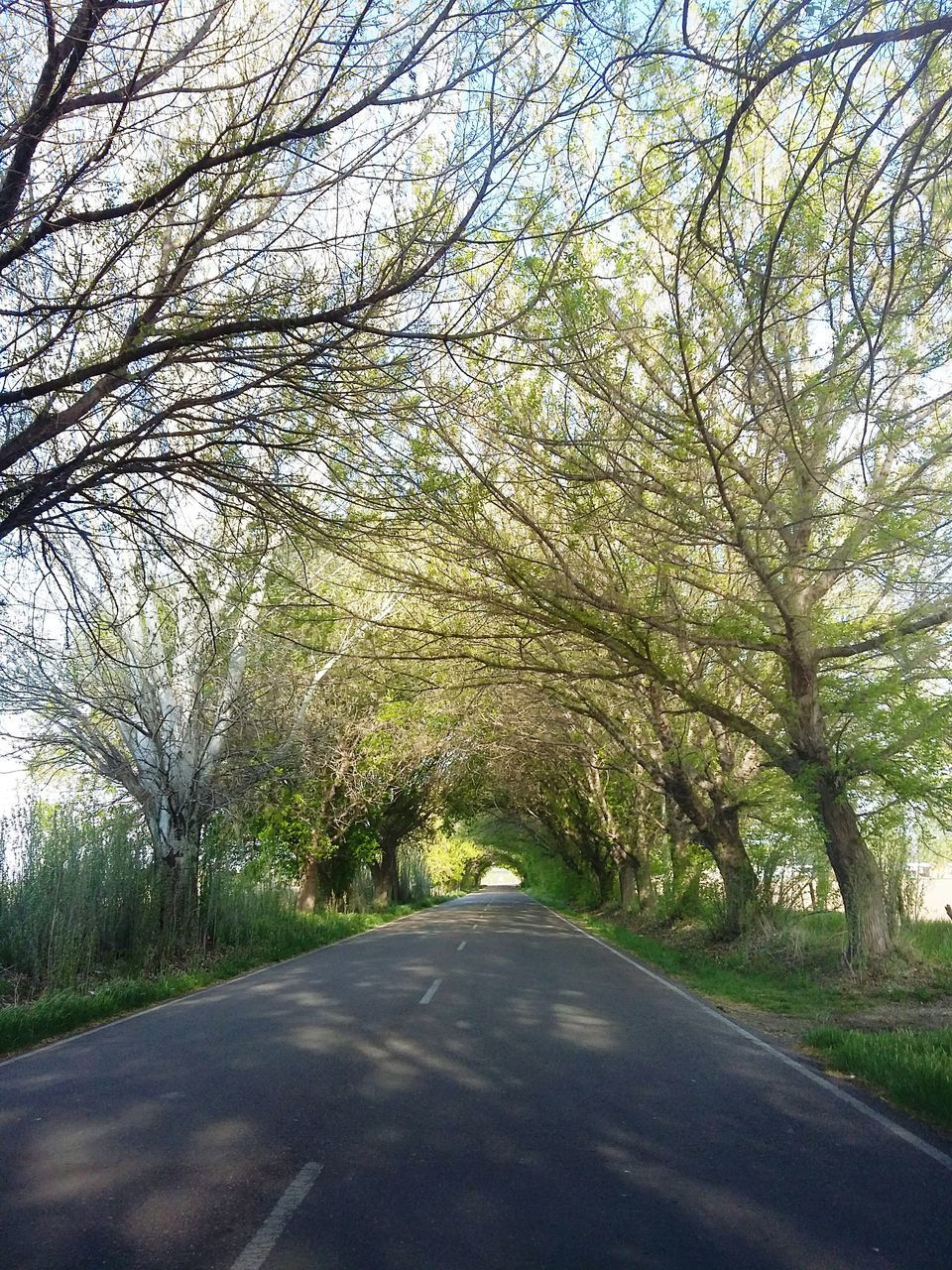 tree, the way forward, road, nature, transportation, tranquility, diminishing perspective, day, tranquil scene, scenics, outdoors, growth, no people, landscape, beauty in nature, branch, sky, grass