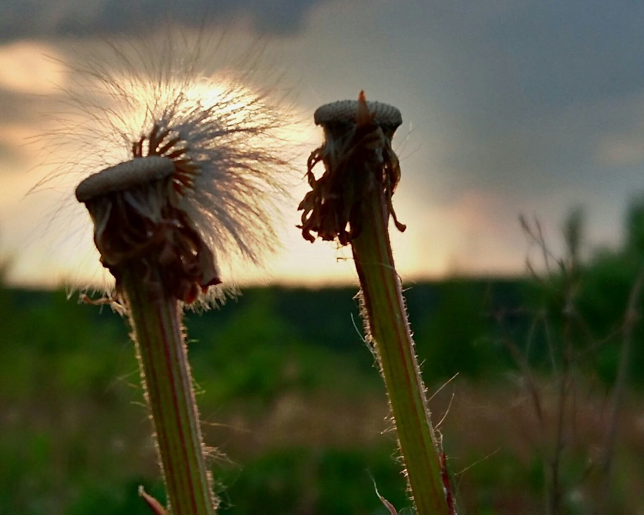 growth, nature, flower, fragility, plant, stem, beauty in nature, focus on foreground, seed, field, close-up, outdoors, flower head, no people, freshness, day, sunset, sky, thistle