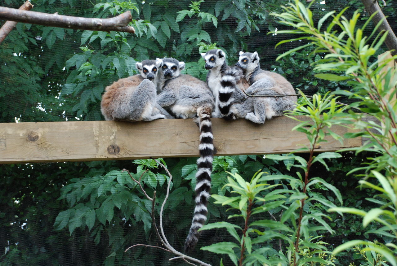 Low Angle View Of Ring-Tailed Lemurs Sitting On Wooden Plank Against Plants