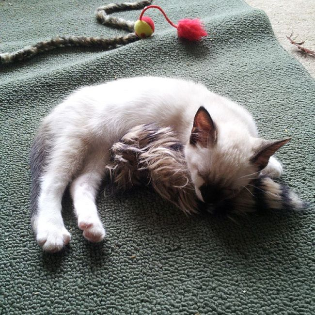 It's Snoozytime for Arya .... she's sleeping with her Woobie .... Awww .. arya GameOfThrones whatdowesaytodeath nottoday ..... kittyporn snoozykitty