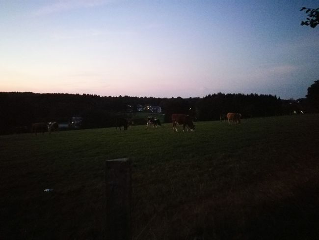 Animal Themes Clear Sky Nature Outdoors EyeEmbestshots EyeEm Best Shots - Landscape Eye Em Nature Lover Grass Landscape High Fen Beauty In Nature Cows Grazing Benito Werner Motombo's World Taking Photos Night Silhouette Sky Eifel