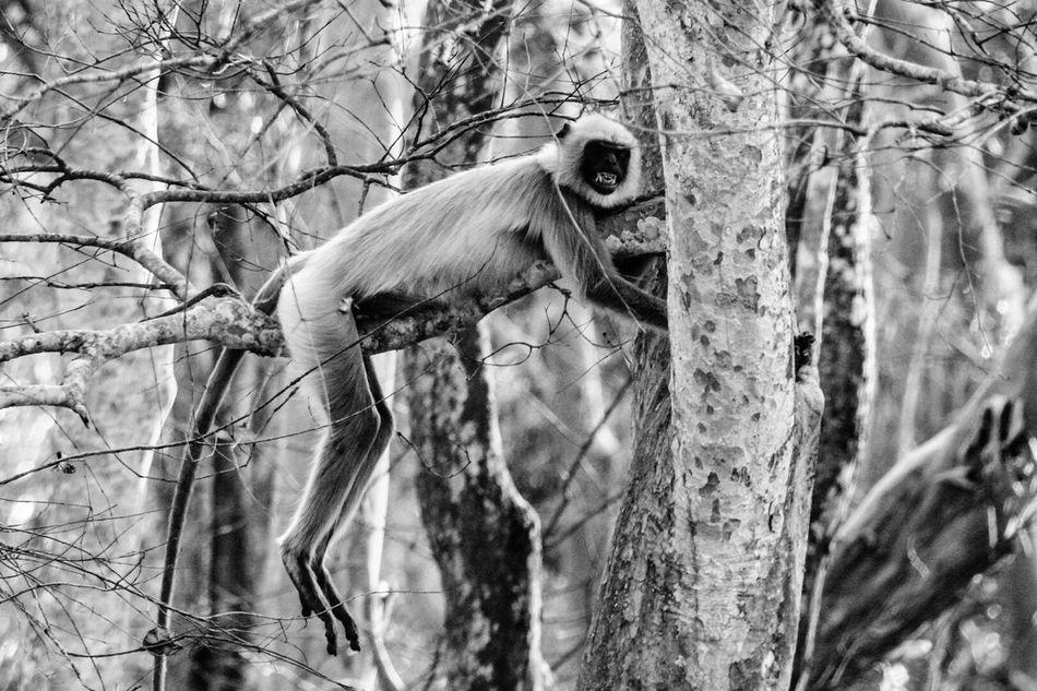 One Animal Animals In The Wild Old Pic  Black & White Langur Animal Themes NagarholeNationalPark Kabini