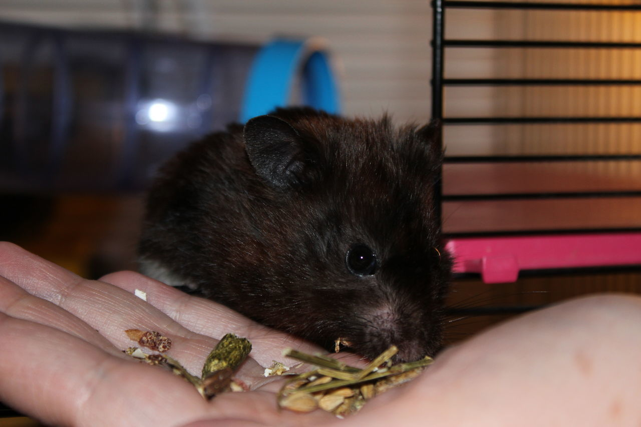 human hand, human body part, animal themes, one animal, mammal, real people, holding, one person, unrecognizable person, rodent, pets, lifestyles, indoors, domestic animals, close-up, food, hamster, hedgehog, day, people