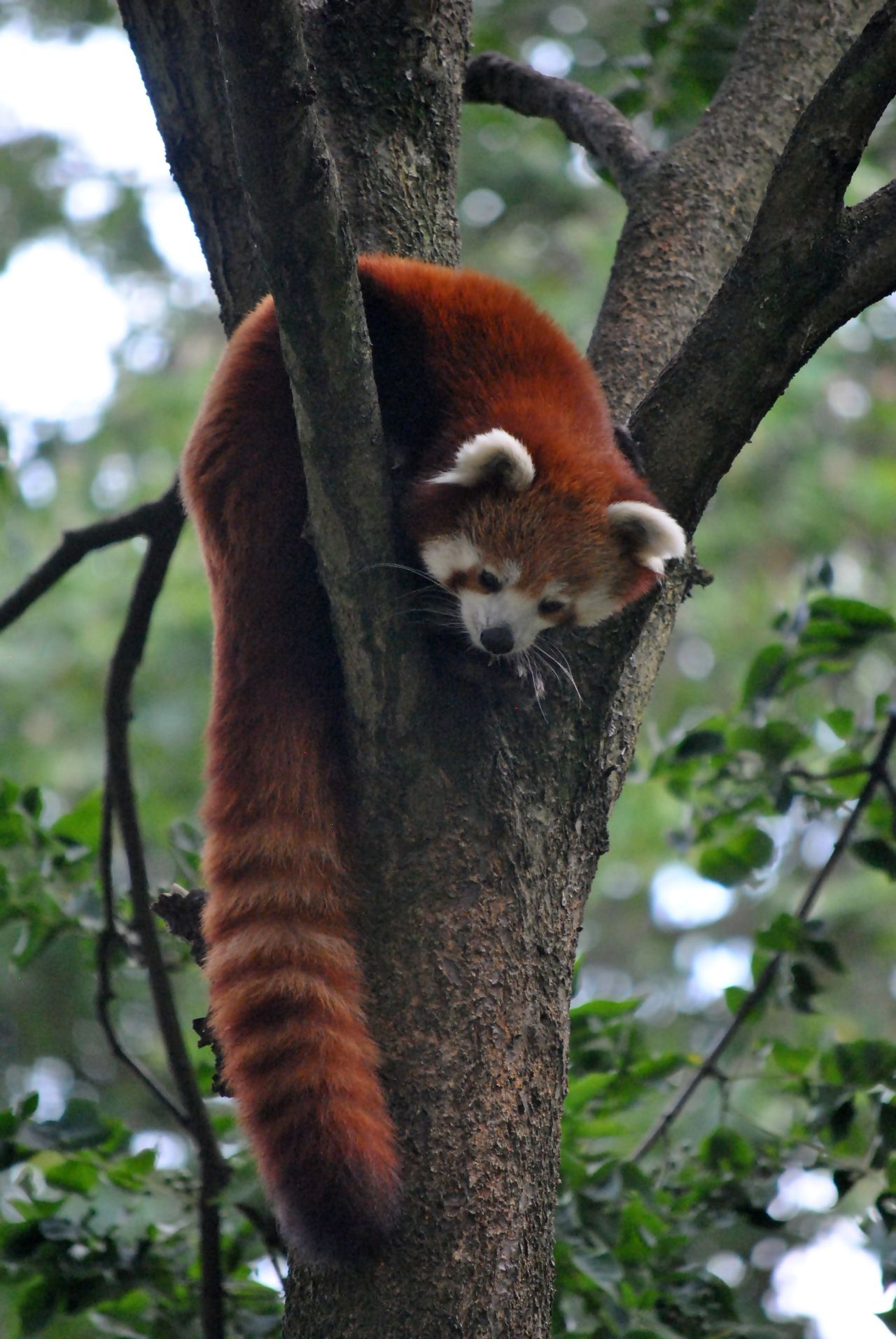 Animal Themes Animal Wildlife Animals In The Wild Branch Day Focus On Foreground Mammal Nature No People One Animal Outdoors Panda - Animal Red Panda Tree Tree Trunk