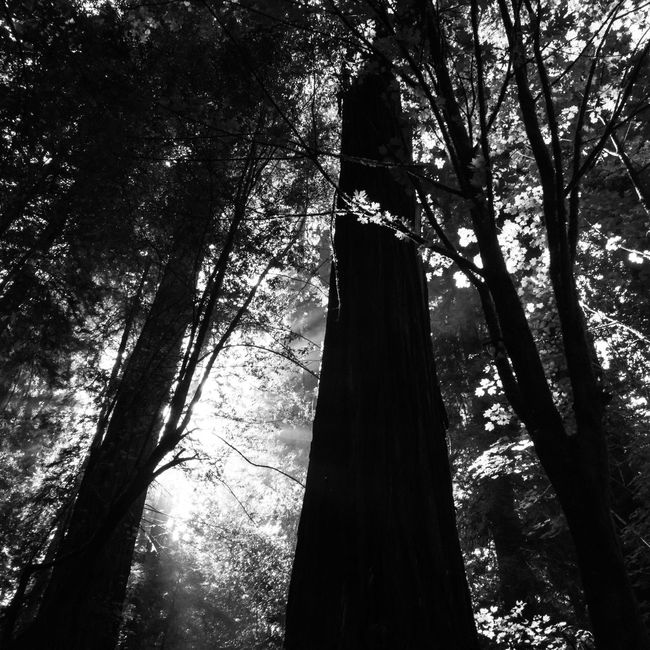 Giants - Redwoods California Tree Trees Tree And Sky Tree_collection  TreePorn Trees And Sky Treescollection Tree Silhouette EyeEm Best Shots EyeEm Nature Lover Eye4photography  EyeEmBestPics EyeEm Best Edits EyeEm Best Shots - Nature EyeEm Best Shots - Black + White Taking Photos Check This Out Photograph Photooftheday Photographer Photography Black And White Photography Blackandwhite