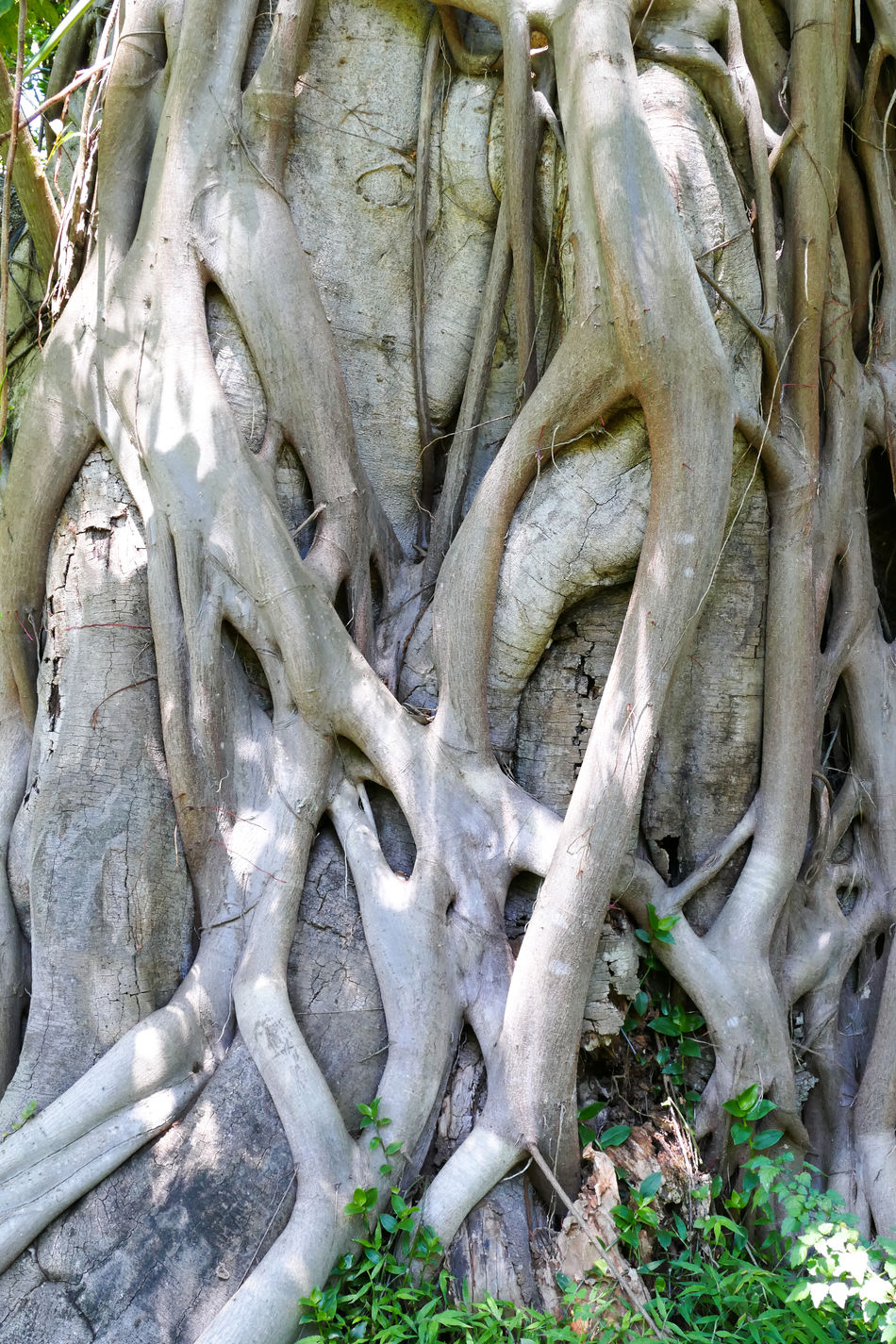 Backgrounds Close-up Day Nature No People Outdoors Root Roots Strangler Fig Strangler Fig Tree Tree Tree Wood - Material