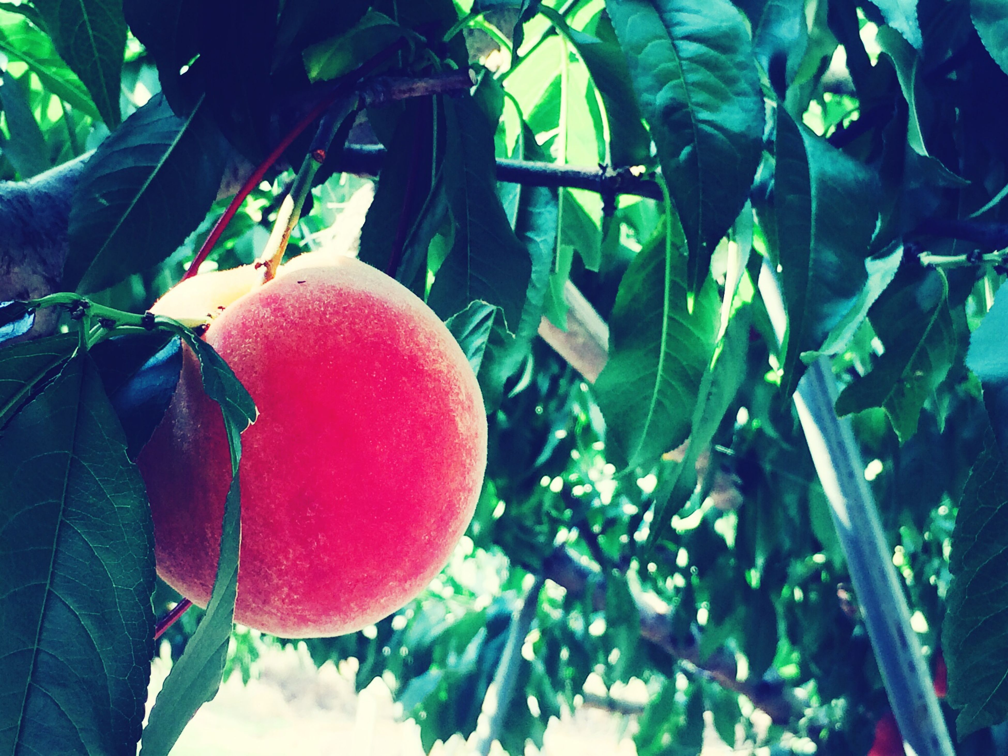 food and drink, freshness, leaf, fruit, food, growth, healthy eating, tree, red, close-up, hanging, branch, green color, day, outdoors, focus on foreground, plant, sunlight, ripe, no people