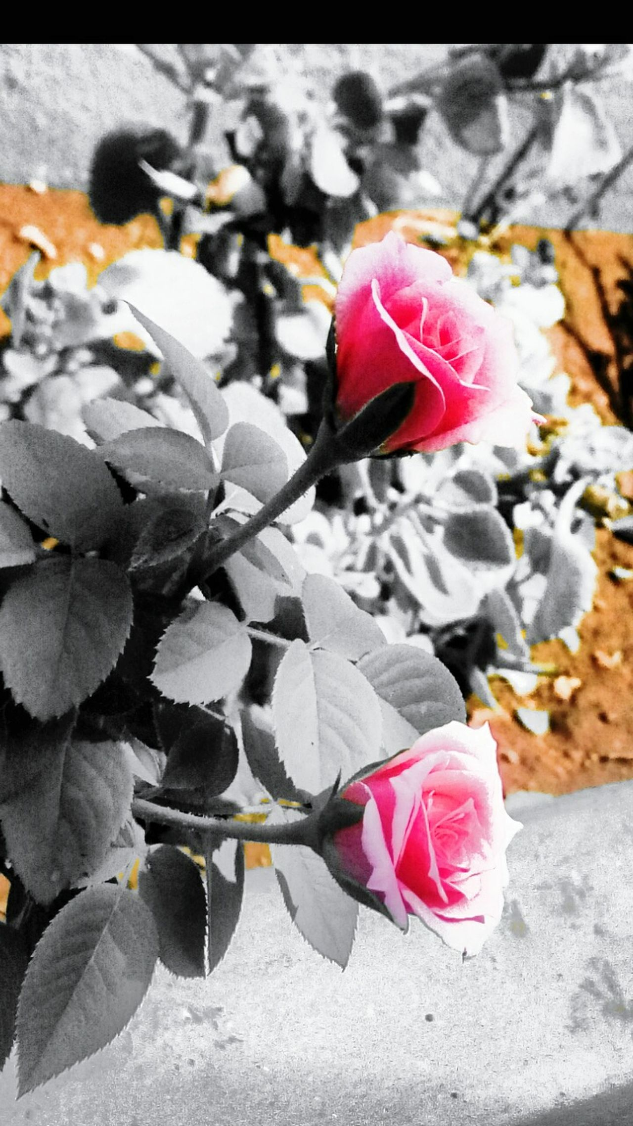 Pink And Black Pink Flowers Pink And Orange Black And White Photography Black And White With A Splash Of Colour B L A C K A N D W H I T E