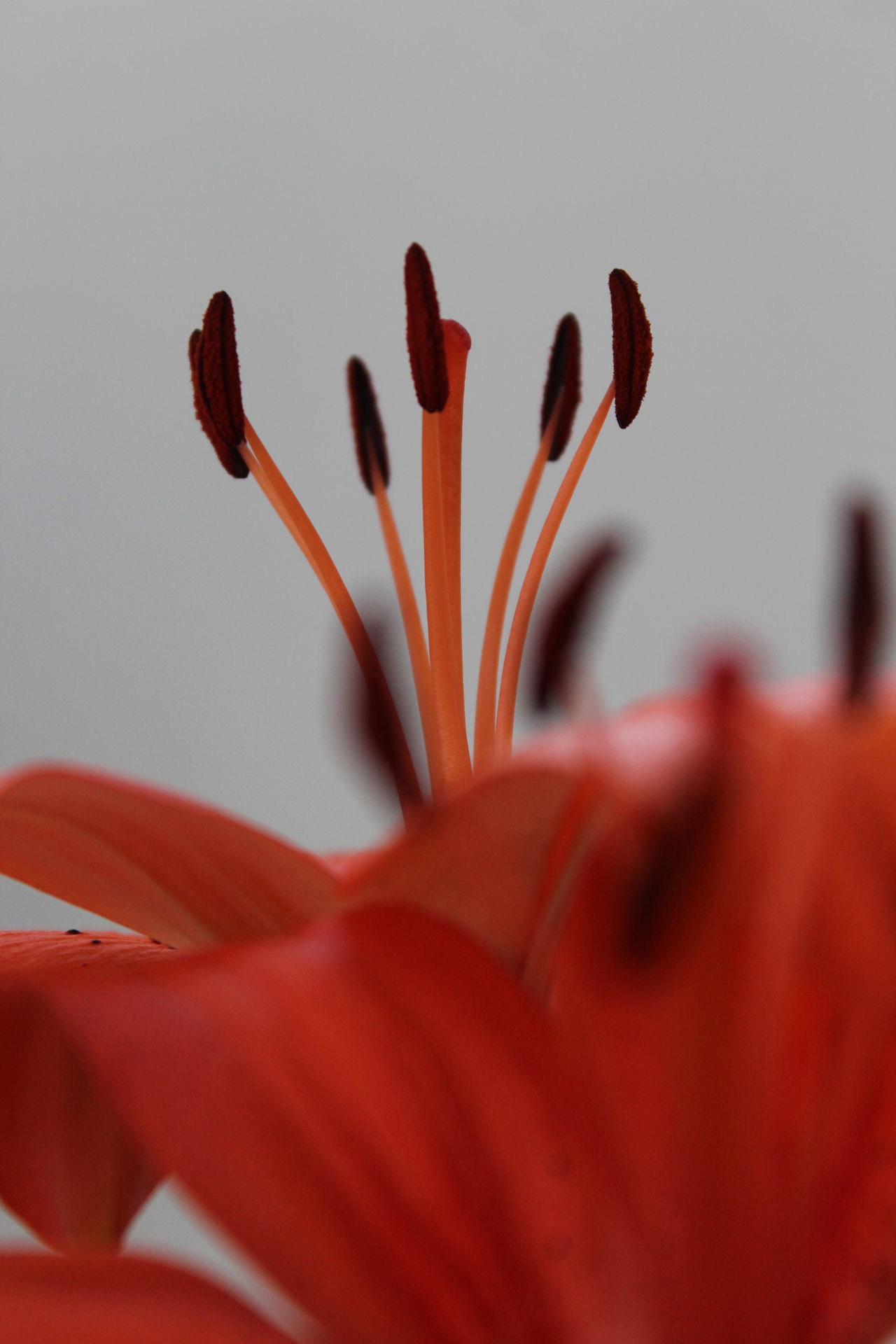Beauty In Nature Blooming Close-up Day Day Lily Flower Flower Head Fragility Freshness Growth Nature No People Outdoors Petal Plant Red Selective Focus Tiger Lily