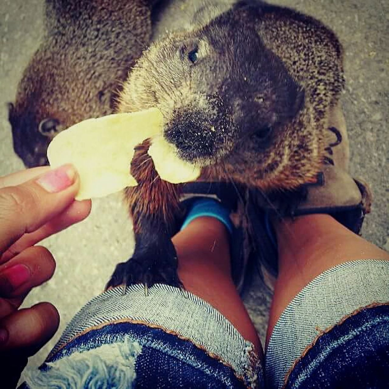 Groundhogs Human Hand Lifestyles Real People Domestic Animals Mammal Close-up Day One Person Only Women Groundhog Friendship Wildlife Nature