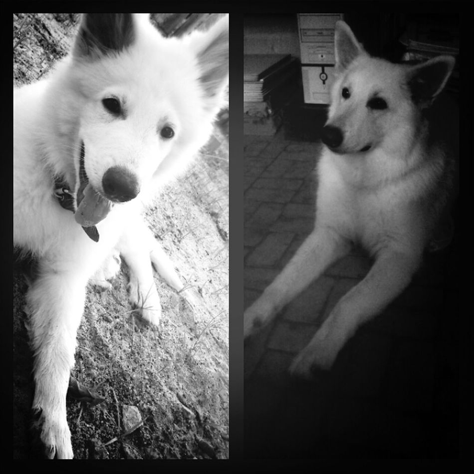 my thor in diferent moments of his life. the picture on the left side is when he was only 3 months, the other one is recent. Dog Thor  White Shepard Berger Blanc Suisse