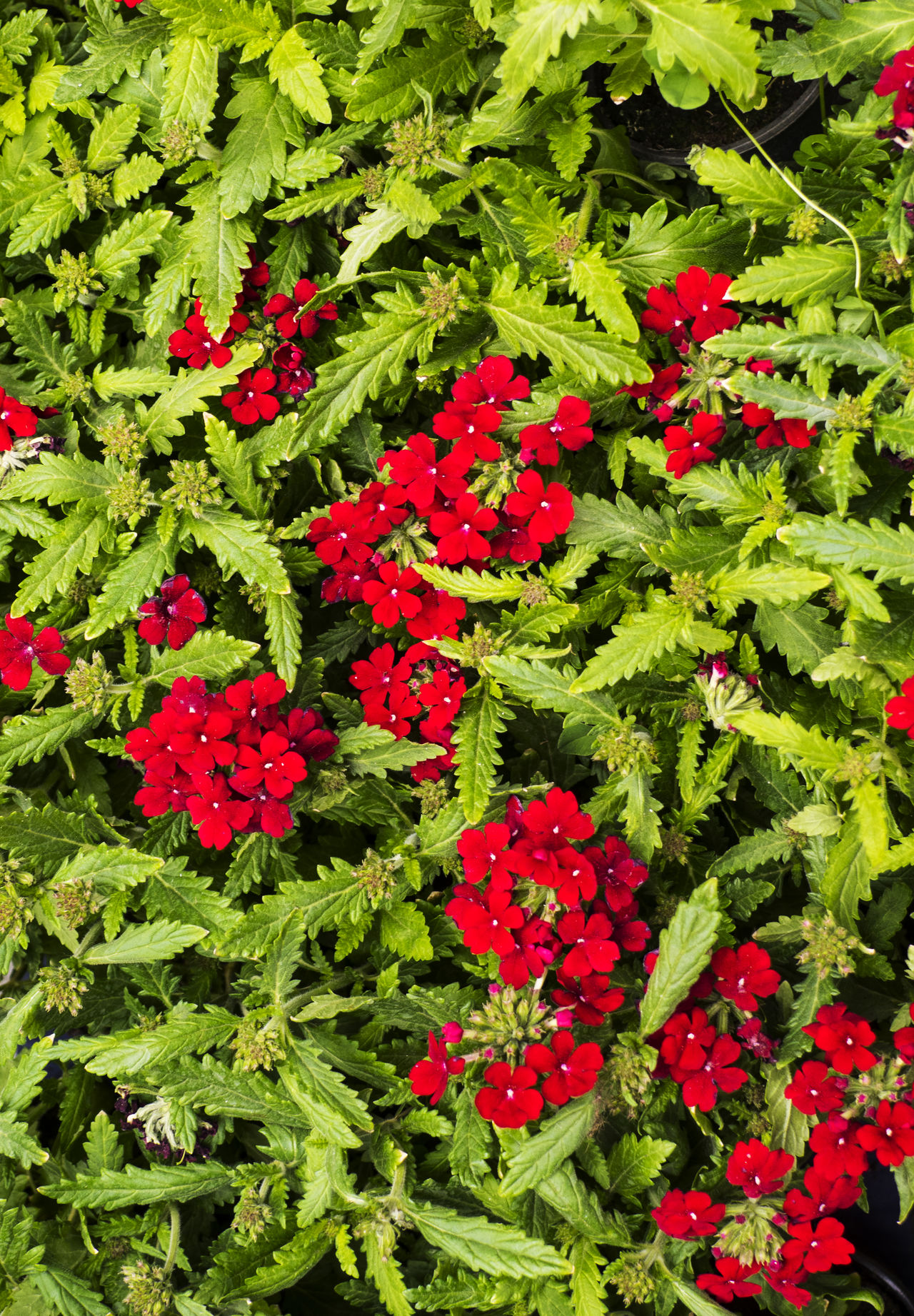 Blooming red spring Primrose in flower bed Beauty In Nature Close-up Day Flower Flower Head Fragility Freshness Full Frame Green Color Growth Leaf Nature No People Outdoors Plant Primrose Red