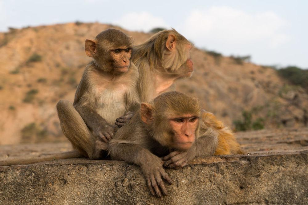 High Resolution India Jaipur Rhesus Macaque Travel Traveling Animal Close-up Monkey Rajasthan Three Travel Destinations Urban Urban Wildlife Wildlife