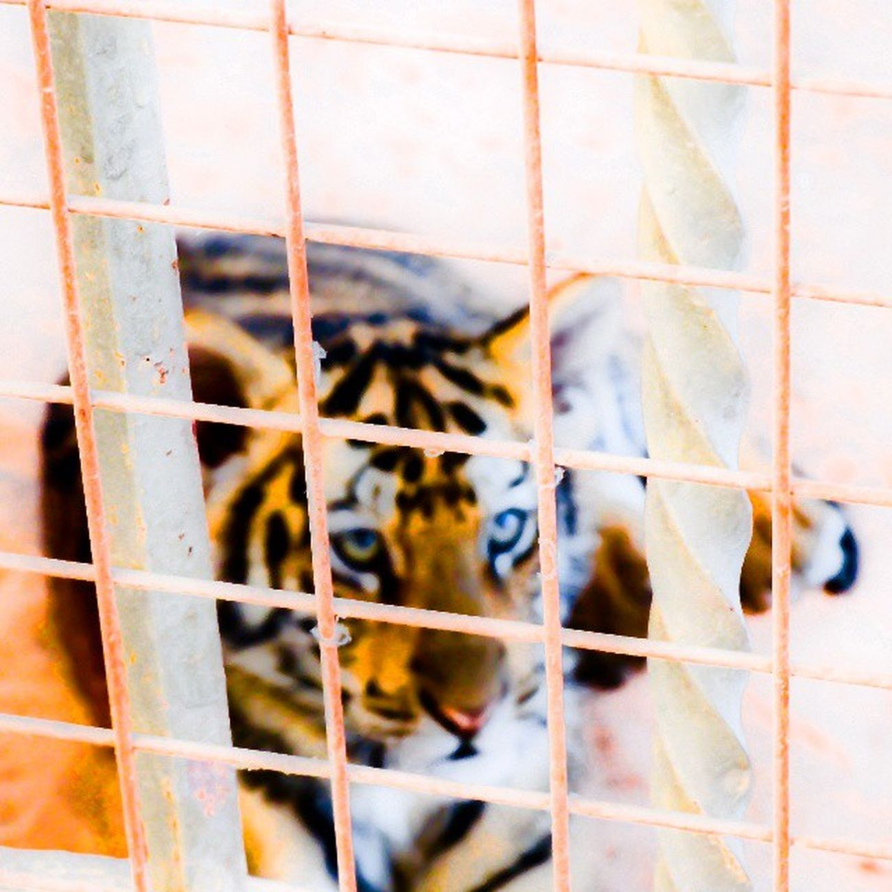 Baby Tiger Animalgarden Animal follow followtofollow photooftheday photography