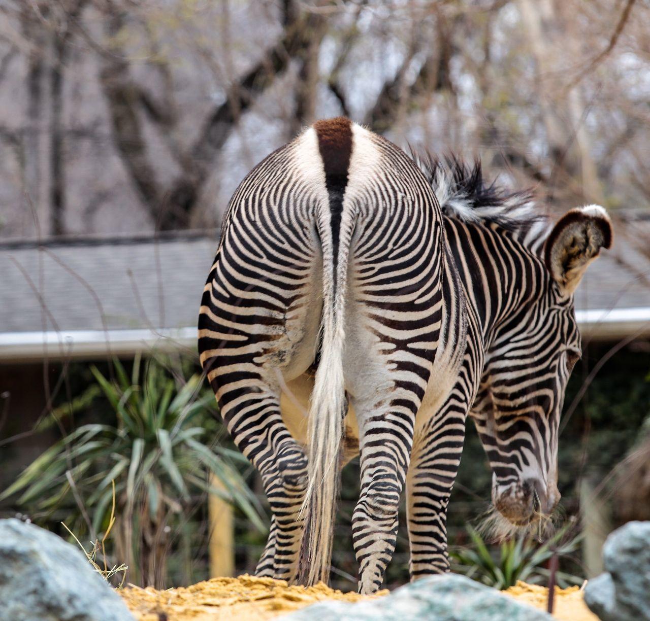 Striped Animals In The Wild Animal Themes Zebra One Animal Animal Wildlife Mammal No People Outdoors Nature Day JGLowe