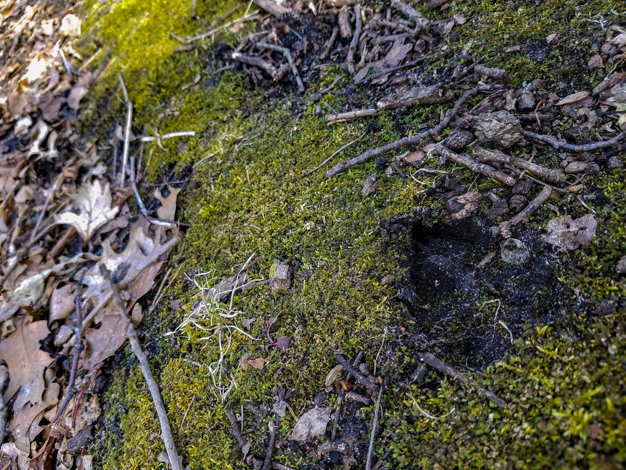 Nature No People Growth Textured  Backgrounds Close-up Day Outdoors Beauty In Nature Forest Path Park Freshness Explore Deer Tracks March 2017 Springtime Spring Minnesota Koronis Regional Park Leaves Trail Moss Mossy Animal Track