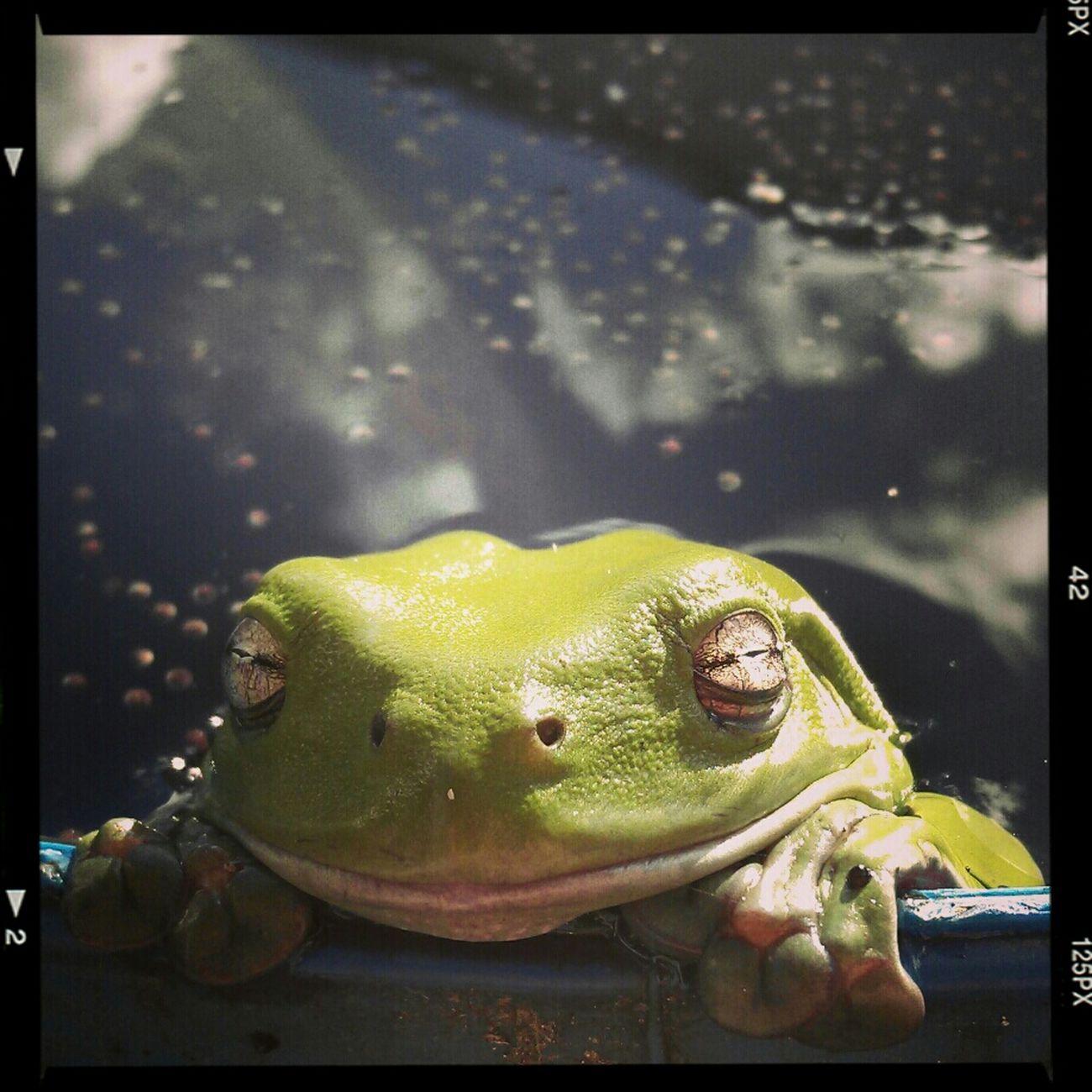 Smile Frog Greentreefrog Litoriacaerulea