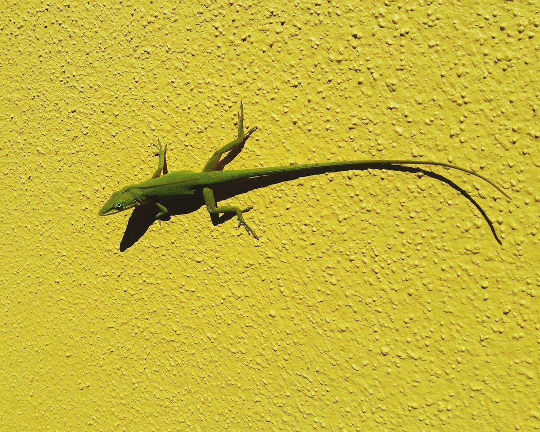 Green Gecko sunbathing. Animal Themes One Animal Day Nature Outdoors Yellow Reptile Close-up Gecko Gecko Lizard Gecko Love Green Gecko Lizard Close Up Lizard❤