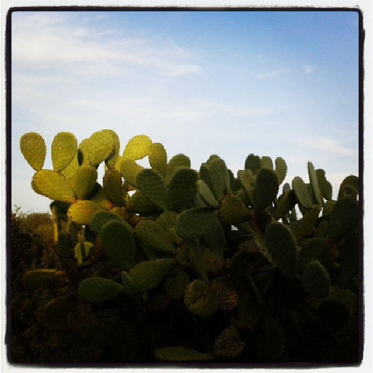 Sardinian Cactus