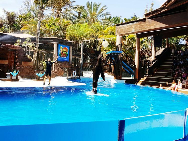 Seal Zoo Fuertventuera Oasis Zoo Show Breaching Enjoying Life In Awe