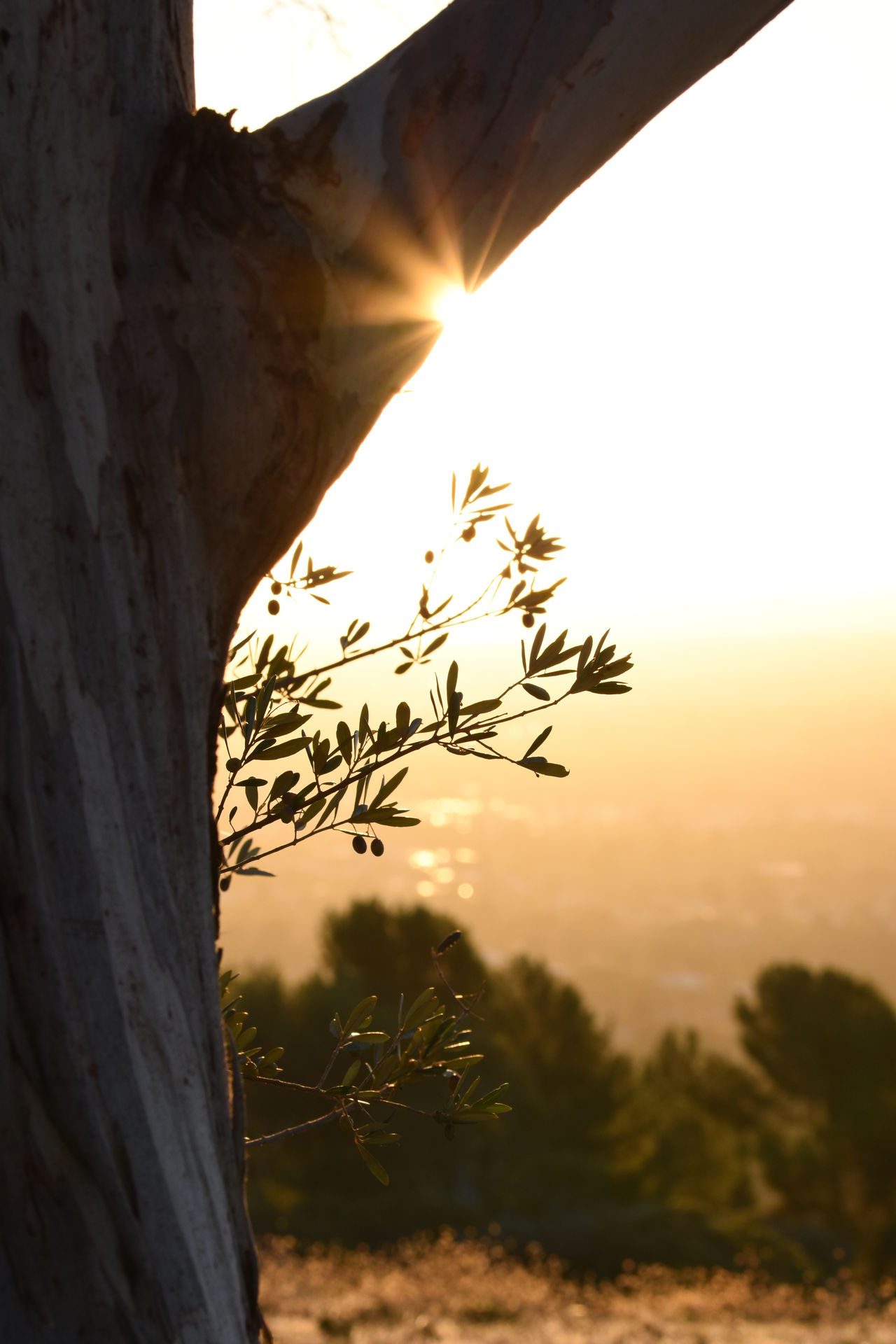 Stunning Sunset Tree Olive Tree View Golden Hour EyeEm Nature Lover No Filter, No Edit, Just Photography Taking Photos Check This Out Sun Glare 43 Golden Moments