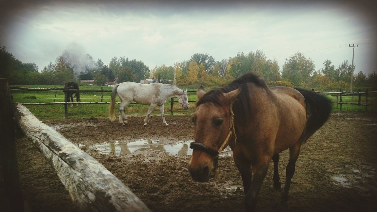 Horses Rany Day Automn Country Countryside Animals