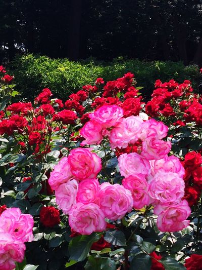 Rose🌹 Roses Flowers Nature_collection Garden MyGallery Love Beautiful Nature