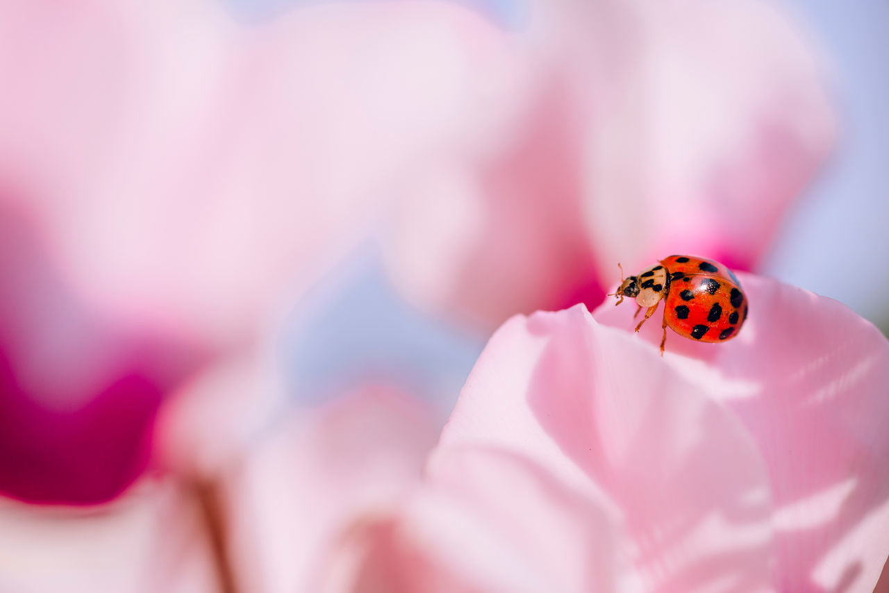 Beauty In Nature Birdlady Bug Close-up Colorful Detail Elégance Flower Fragility Insect Ladybirds 🐞 Macro Multi Colored Nature New Life Petal Selective Focus Softness Springtime Wildlife Pastel Power Pastel Maximum Closeness