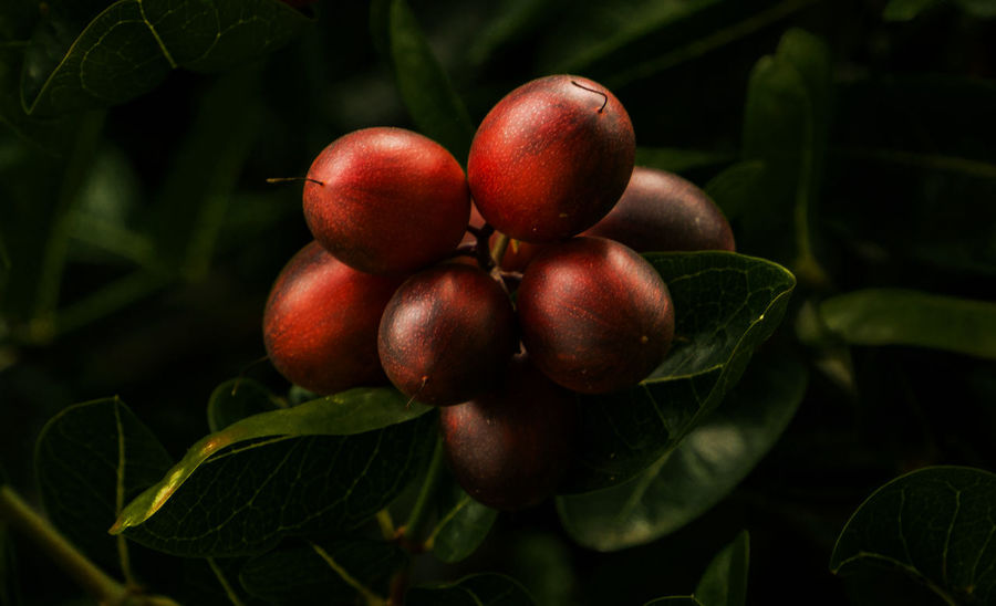 Red and Beautiful Fruits Close-up Day Focus On Foreground Freshness Fruit Garden Green Color Growth Leaf Nature No People Outdoors Red Red Fruits Tree