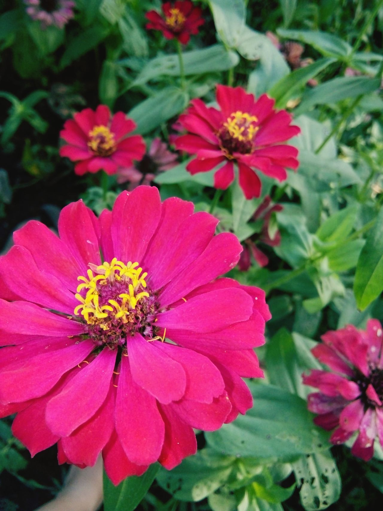 Flower Flower Head Petal Fragility Pollen Freshness Nature Plant No People Zinnia  Beauty In Nature Outdoors Day Close-up