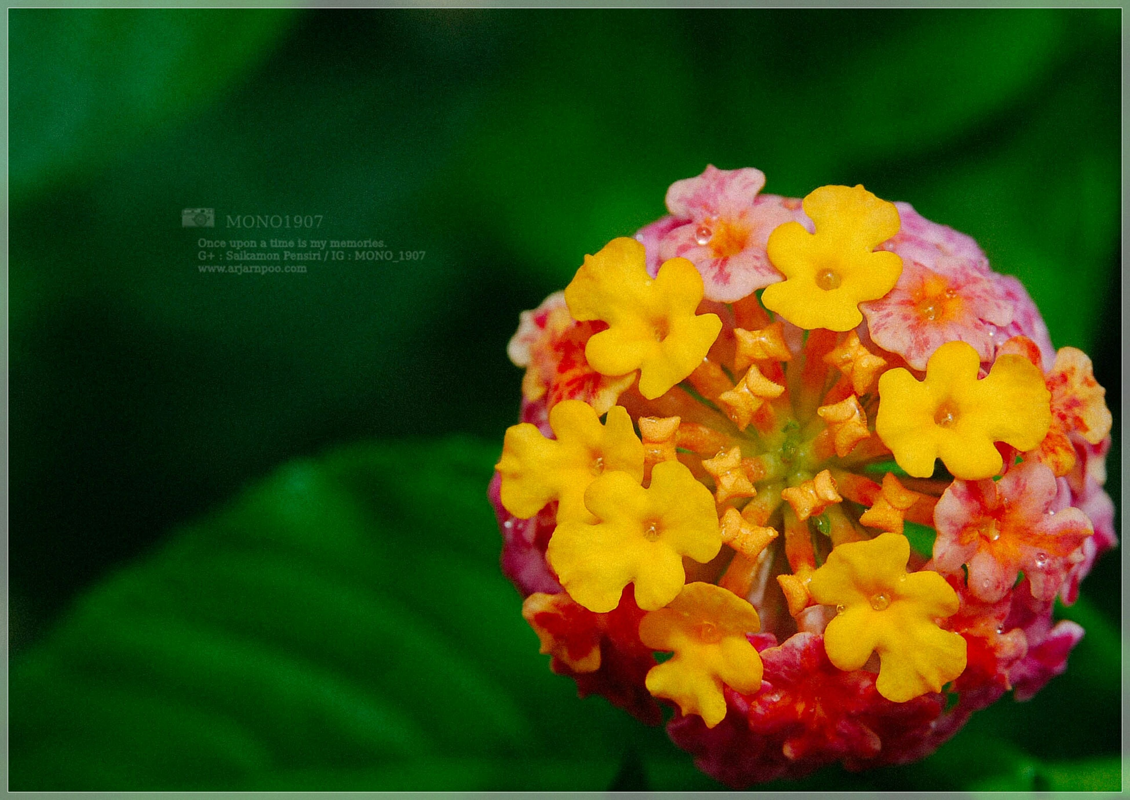 flower, freshness, petal, fragility, yellow, transfer print, flower head, beauty in nature, blooming, auto post production filter, focus on foreground, growth, close-up, plant, nature, in bloom, vibrant color, pink color, day, outdoors