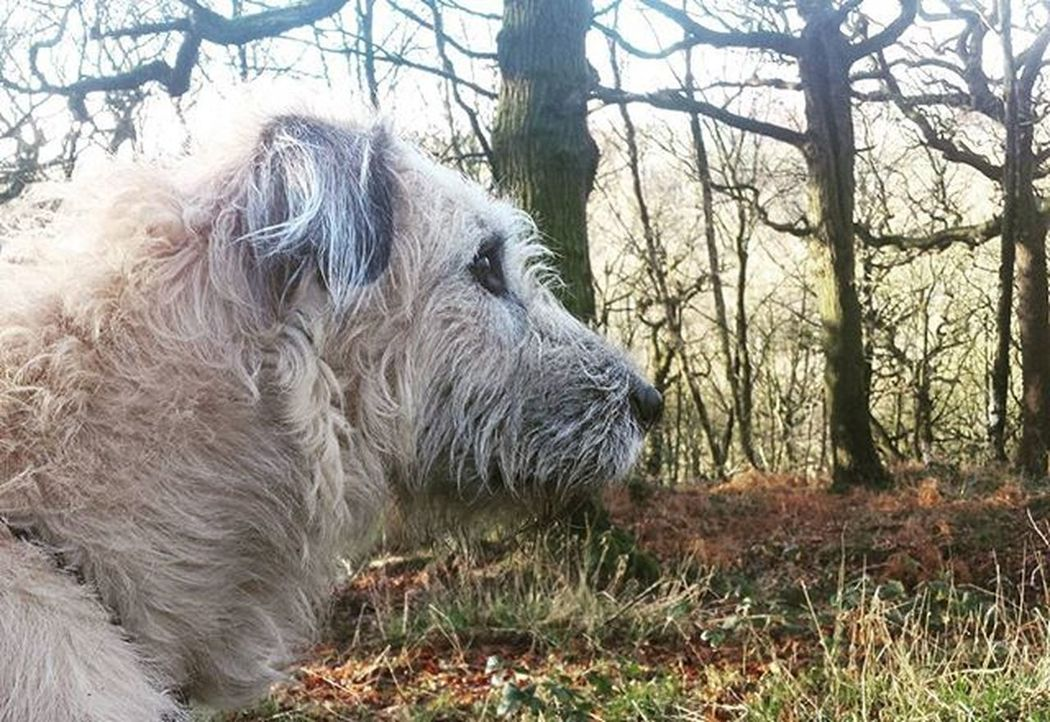 Rustling in the trees. Curls Irish Country Irishgirl Irishwolfhound Wolf Wolfie Wolfhound Sun Dogstagram Dogs Love Photooftheday Smile Look Instalike Picoftheday Food Instadaily Girl Bestoftheday Instacool All_shots Follow Webstagram colorful
