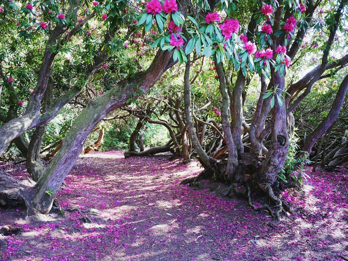Petal path. Rhododendrons Flowers Nature Natural Beauty First Eyeem Photo
