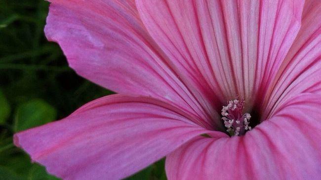 Planten Un Blomen Pink Flower Close Up Pink Fine Art Photography Nature Macro Beauty Nature_perfection Jopesfotos - Nature Jopesfotos - Bestefotos