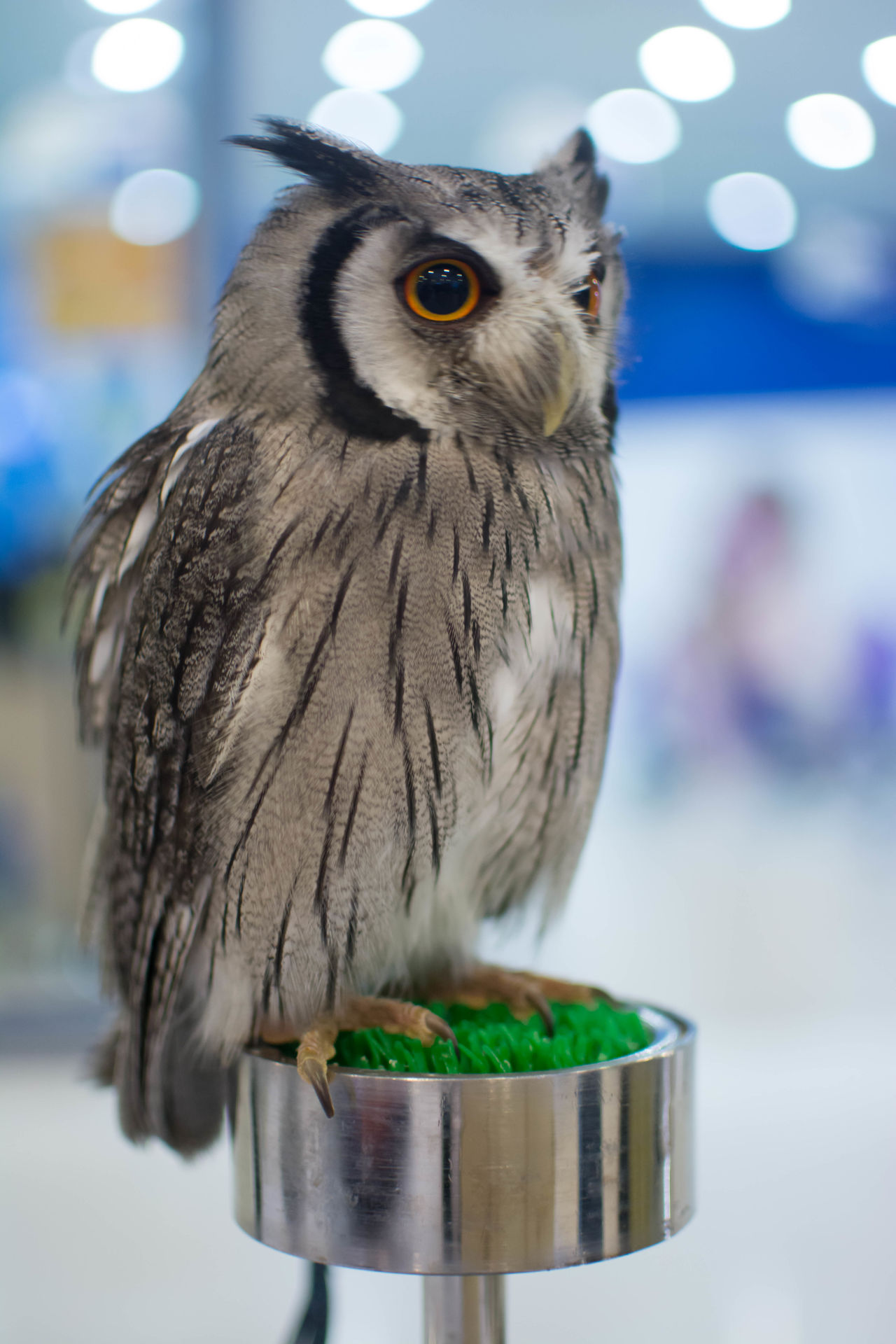 owl Animal Themes Animal Wildlife Animals In The Wild Bird Close-up Cute Cute Pets Day Focus On Foreground No People One Animal Outdoors Owl Owl Eyes Perching
