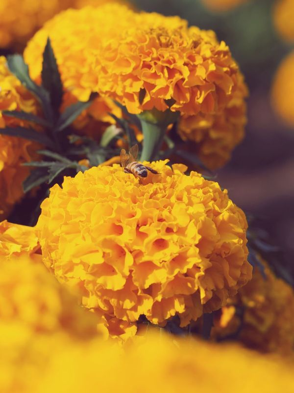 Marigold Marigold Flowers Marigoldflower Blooming Flower Petal Beauty In Nature Flower Head Freshness Insect Plant Animals In The Wild Close-up Yellow Bee Growth Bee Flower Fragility Nature Full Bloom Flower Collection Flowers Flower Photography Flowers, Nature And Beauty Flowers,Plants & Garden