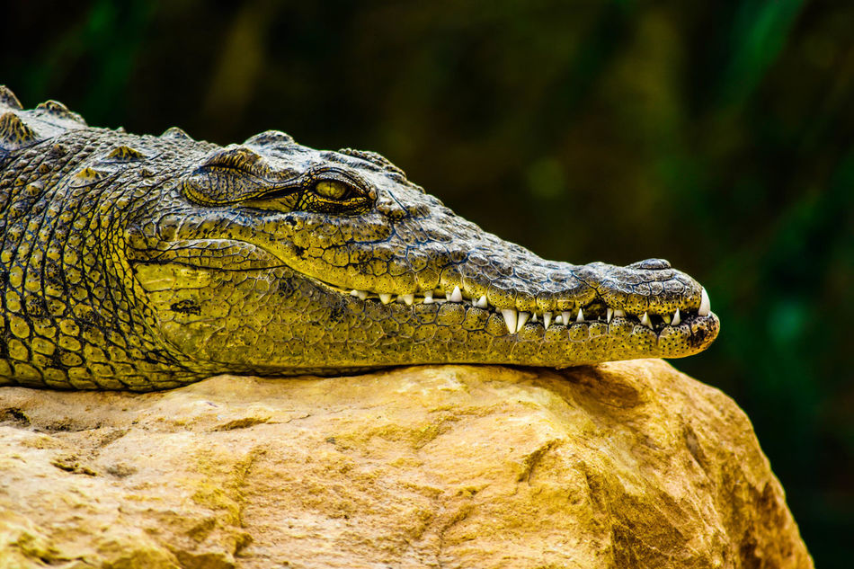 Corcodail relaxing on stone. Taking Photos Check This Out Relaxing Eyes Learn & Shoot: Leading Lines Animals الرياض Photographs تصويري_نيكون تصويري  Photography السودان Check This Out Taking Photos Hanging Out Hello World