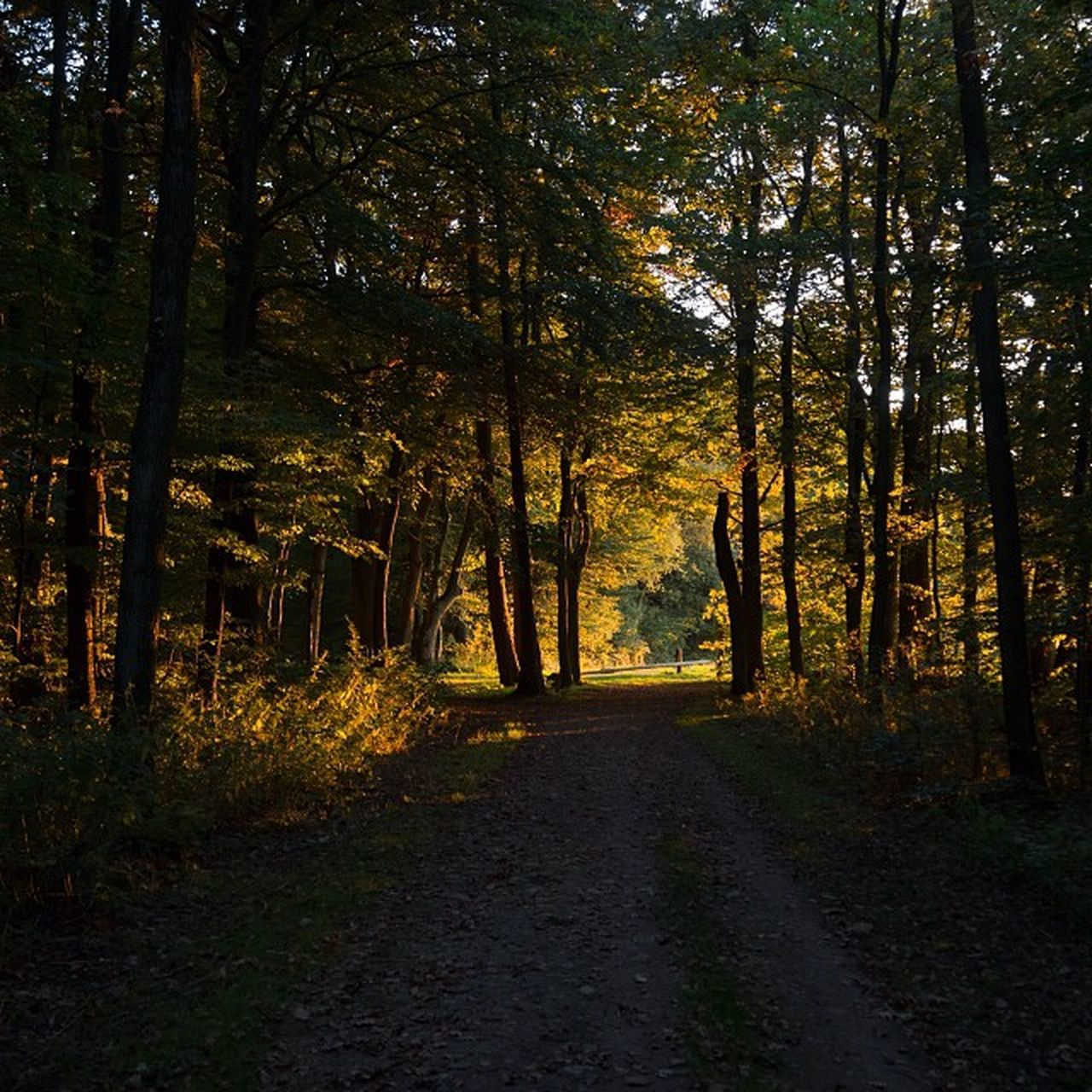 tree, forest, autumn, nature, tranquil scene, tranquility, scenics, beauty in nature, the way forward, outdoors, woodland, no people, landscape, road, tree trunk, day, growth, leaf, sky