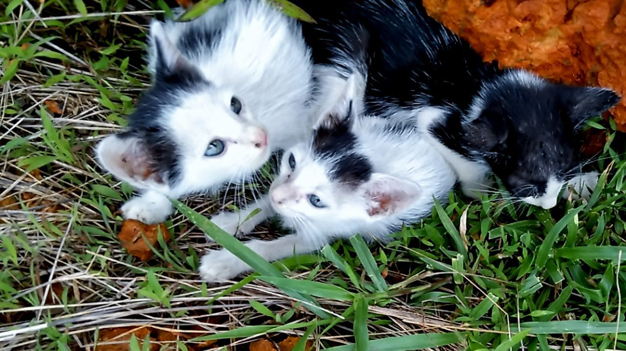 pets, domestic animals, domestic cat, animal themes, grass, high angle view, looking at camera, mammal, feline, portrait, young animal, relaxation, no people, outdoors, day, togetherness, nature, close-up