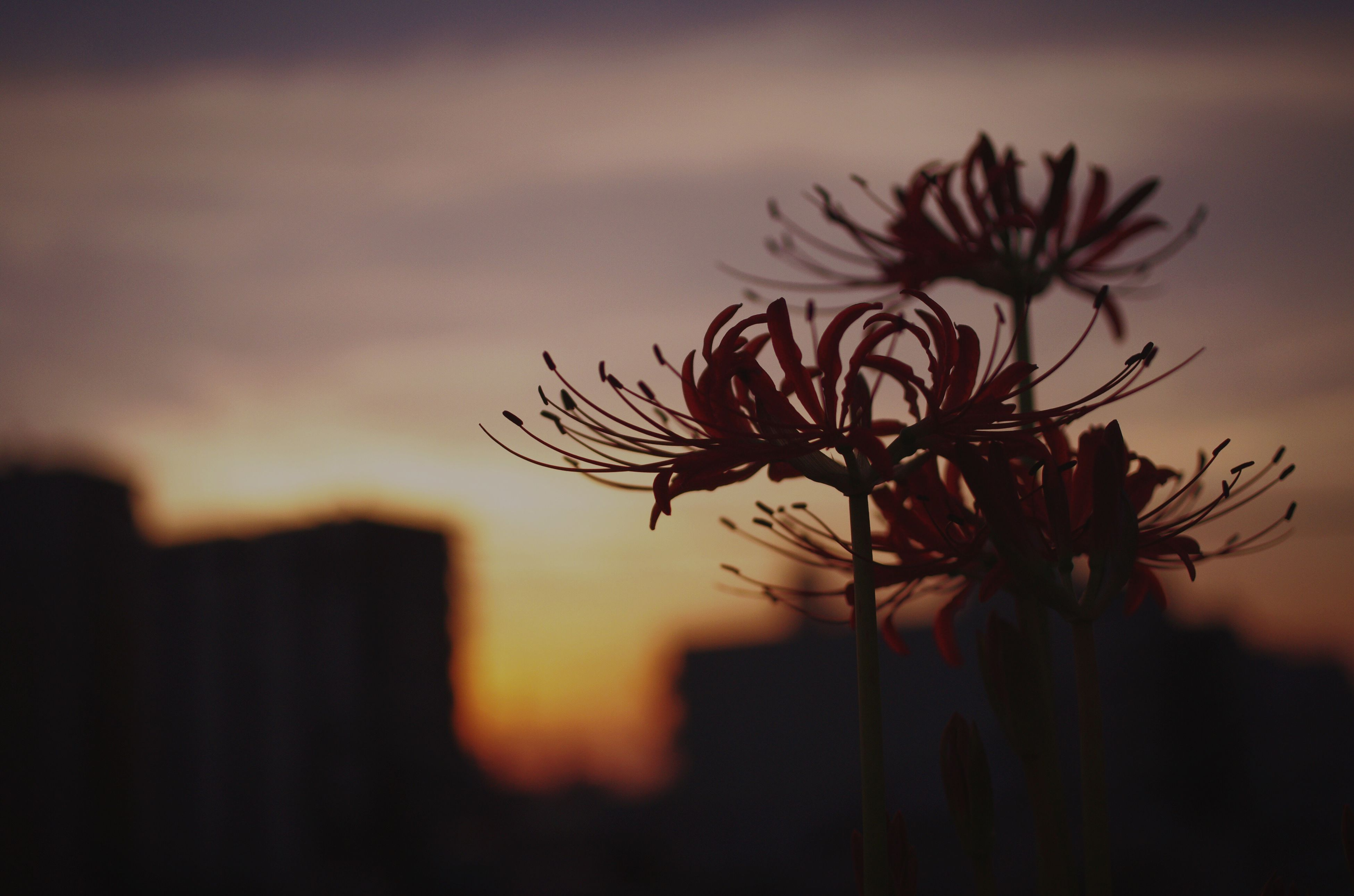 sunset, growth, silhouette, flower, plant, focus on foreground, nature, beauty in nature, close-up, sky, fragility, stem, freshness, dusk, leaf, outdoors, no people, orange color, flower head, selective focus