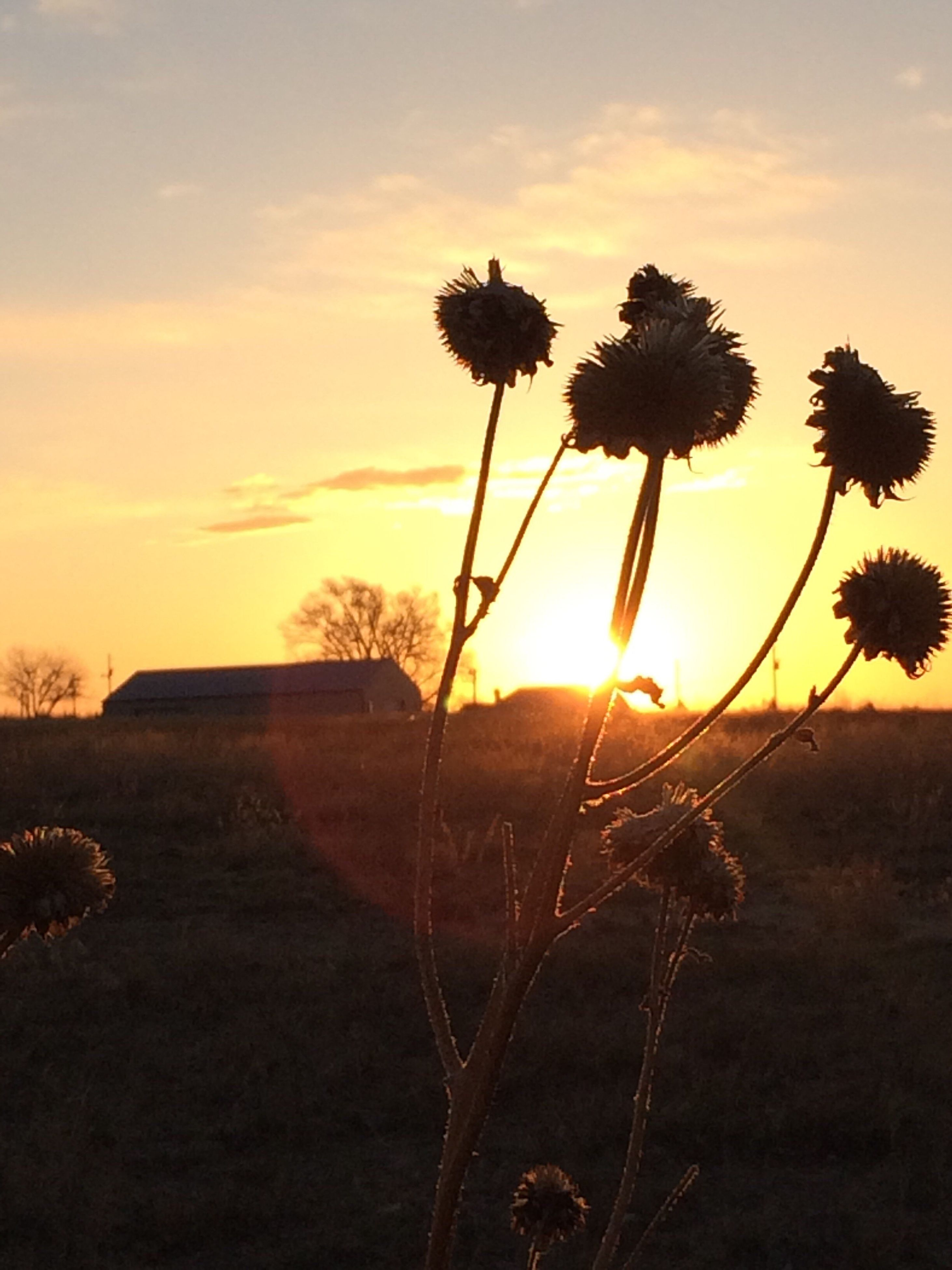 sunset, tranquil scene, tranquility, sun, beauty in nature, sky, scenics, silhouette, nature, orange color, tree, landscape, growth, field, sunlight, plant, idyllic, non-urban scene, back lit, no people