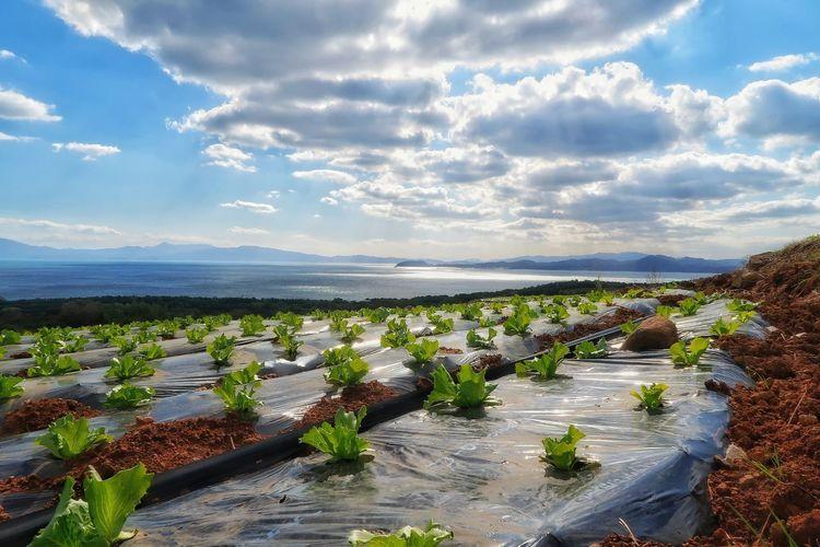 トレッキング ウォーキング レタス レタス畑 畑 太陽 ソラ 空 Sky Lettuce Plant Lettuce Field Cloud - Sky Sun Low Angle View Nature EyeEmNewHere Green Color Beauty In Nature Leaf Freshness Nature Beauty In Nature Sunlight Tranquility