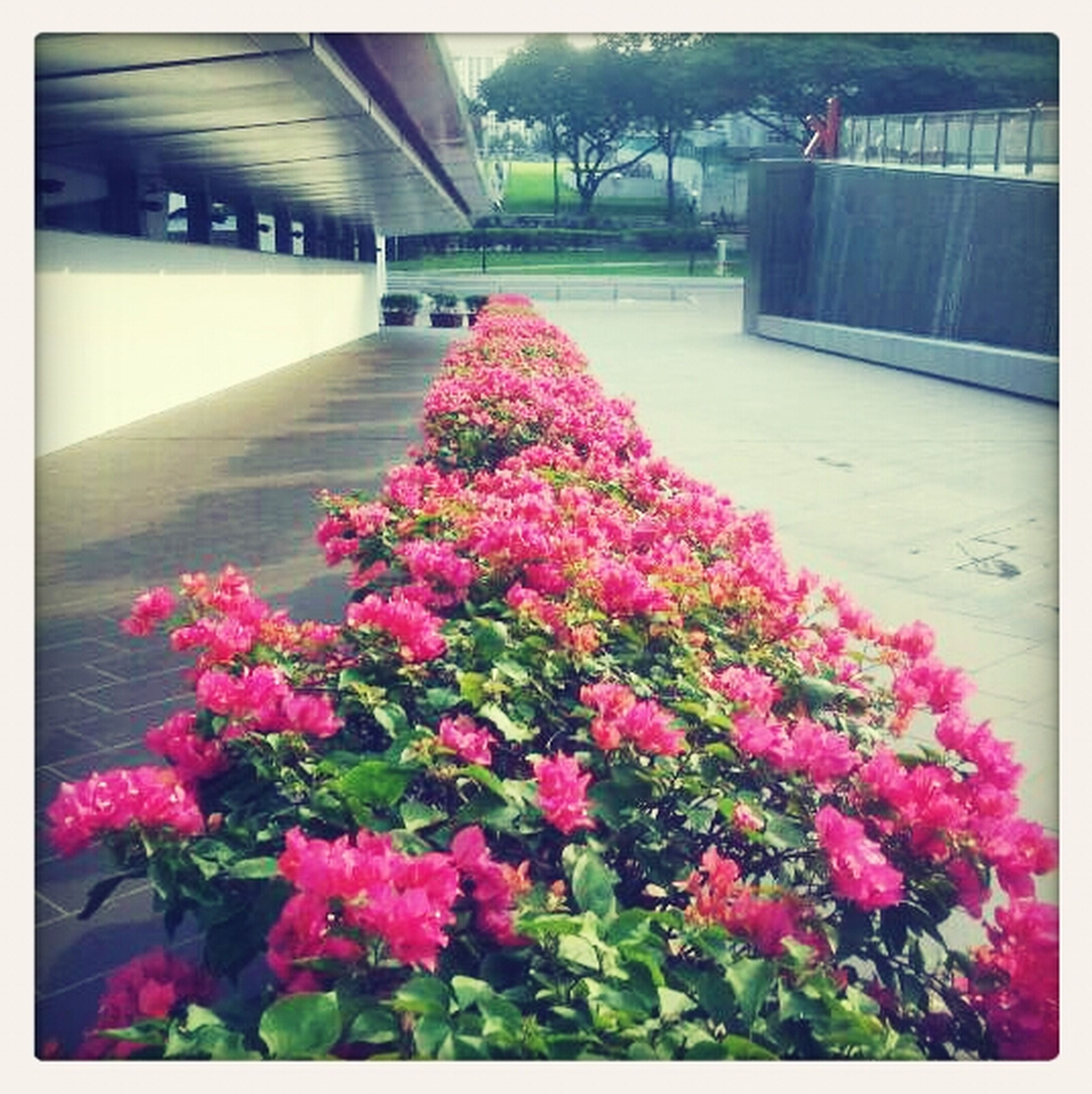 flower, freshness, fragility, pink color, building exterior, petal, growth, built structure, blooming, architecture, plant, beauty in nature, transfer print, in bloom, nature, blossom, house, flower head, pink, auto post production filter